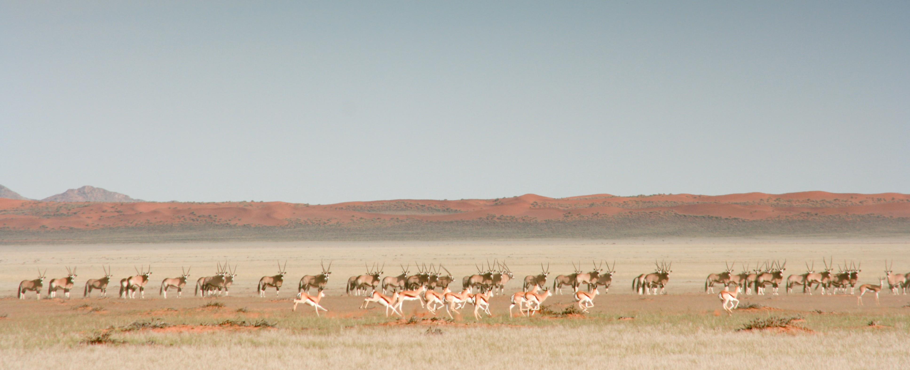 Steppe mit Giraffen und Antilopen