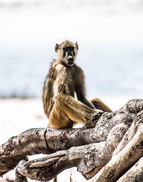 Affe auf einer Baumwurzel