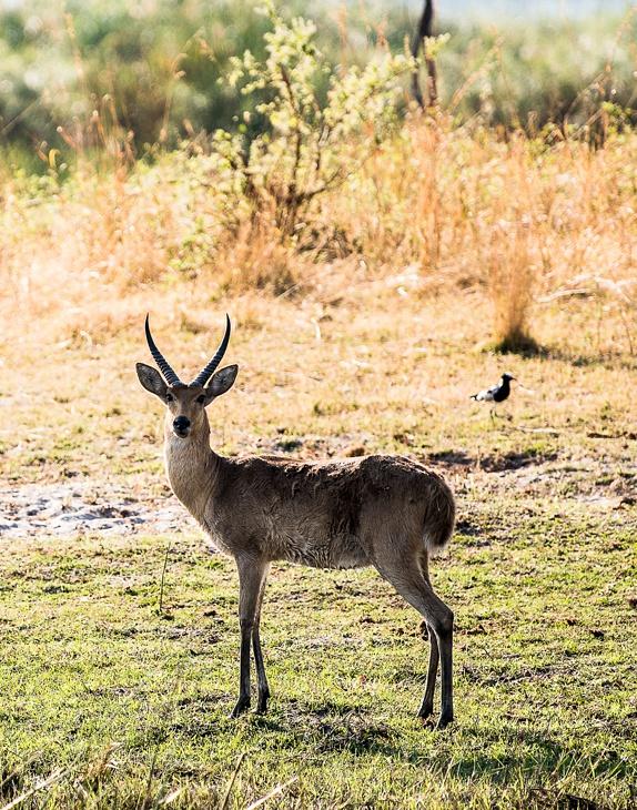 Antilopen Männchen in Namibia