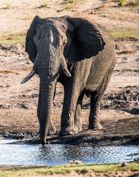 Elefant an der Tränke