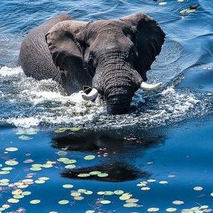 elefant-schwimmt-im-see
