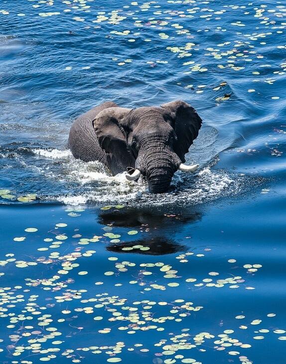 Elefant schwimmt im See