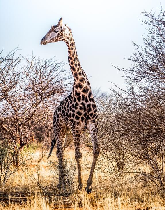Giraffe zwischen Sträuchern