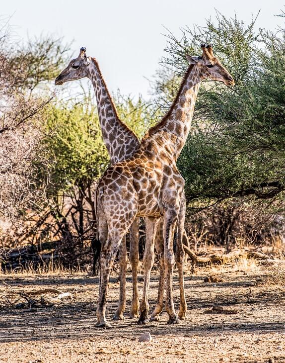 Zwei Giraffen in der namibischen Steppe