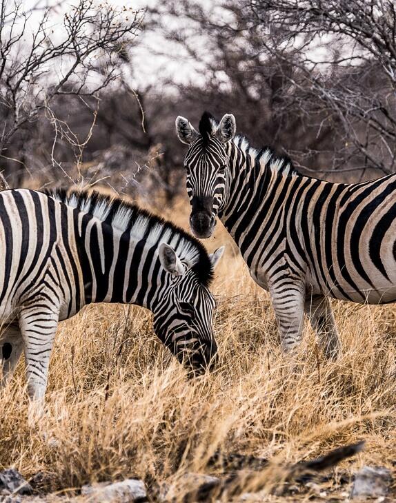 Zwei Zebras in Namibia