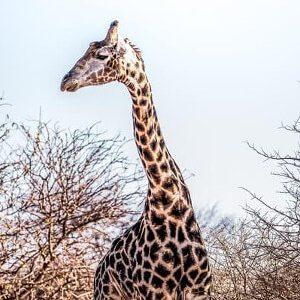 giraffe-zwischen-straeuchern quadrat